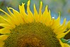 Sunflower-261