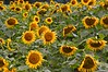 Sunflowers-239