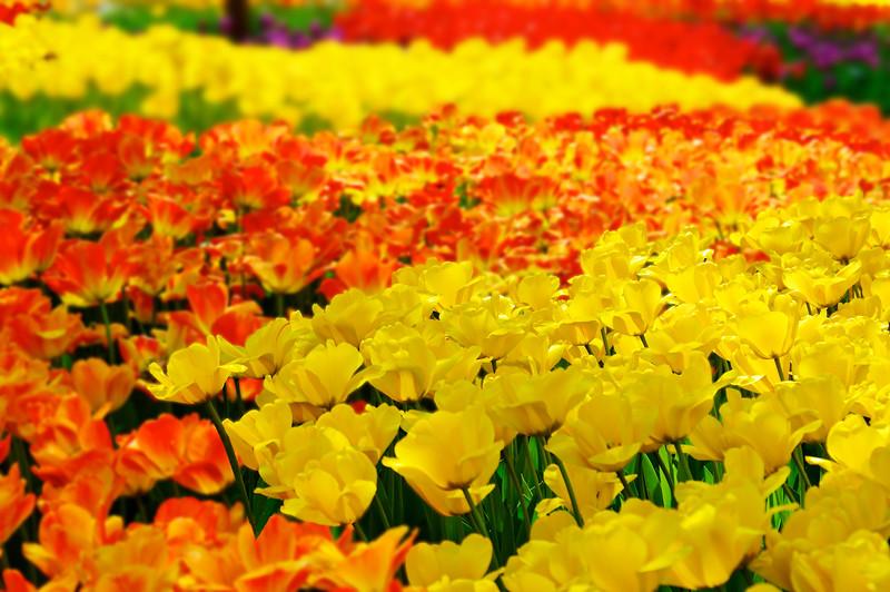 Cincinnati Zoo Tulips