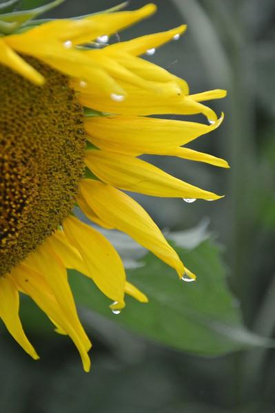 Sunflower-294
