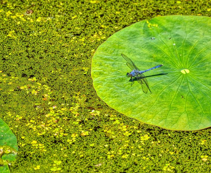Dragonfly-4215
