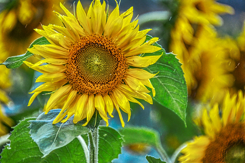 Sunflower-4271