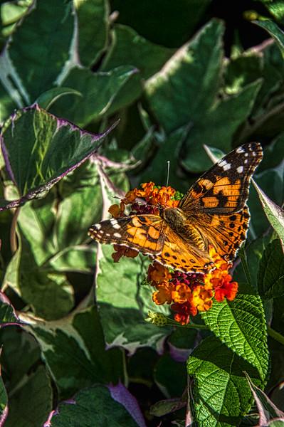 Monarch-4964