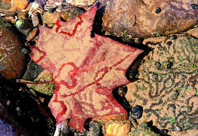 Snail Tracks in the Sediment of a Maple Leaf Under Water