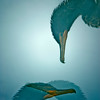 Cormorant Profiles