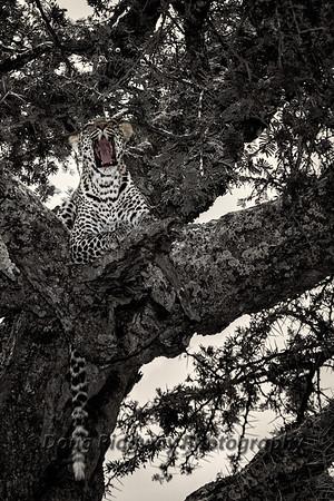 Yawning Leopard Cub