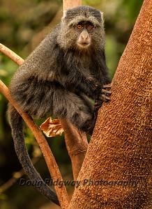 Blue Monkey in a tree