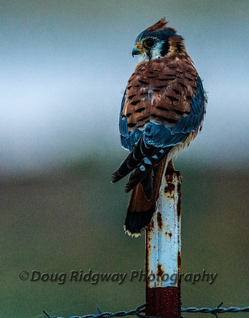 American Kestrel Looking Back