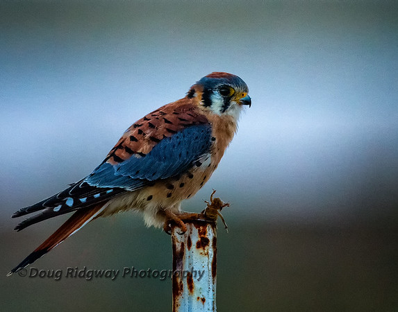 American Kestrel and Jerusalem Cricket