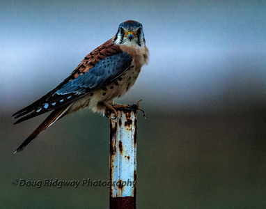 American Kestrel<br /> Isenberg Refuge<br /> Woodbridge, CA