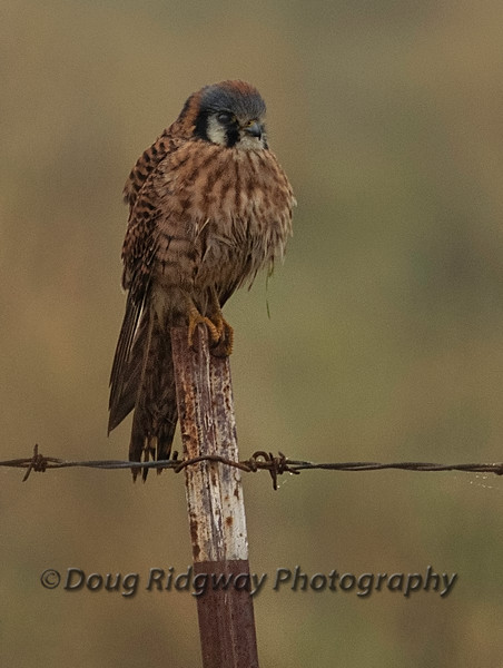 Kestrel on a Fence Post