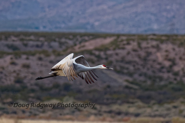 Lone Crane in Flight