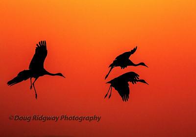 Crane Silhouettes<br /> Isenberg Refuge, Woodbridge, CA