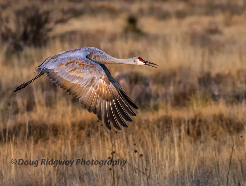 Sandhill Crane Flying in Warm Light