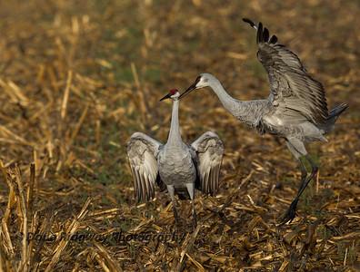 Cranes Sparing