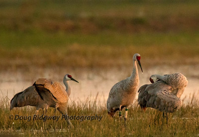 Sandhill Cranes in Evening Light