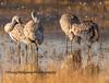 Lesser Sandhill Cranes preening