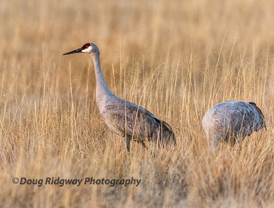 Lesser Sandhill Crane in the Grass