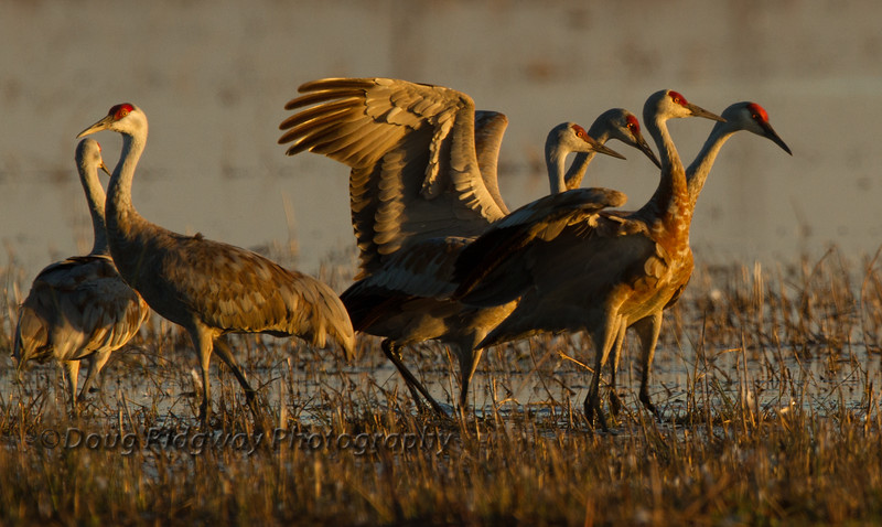 Cranes in Evening Light