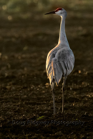 Crane in Morning Light