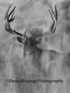 Ghost Elk