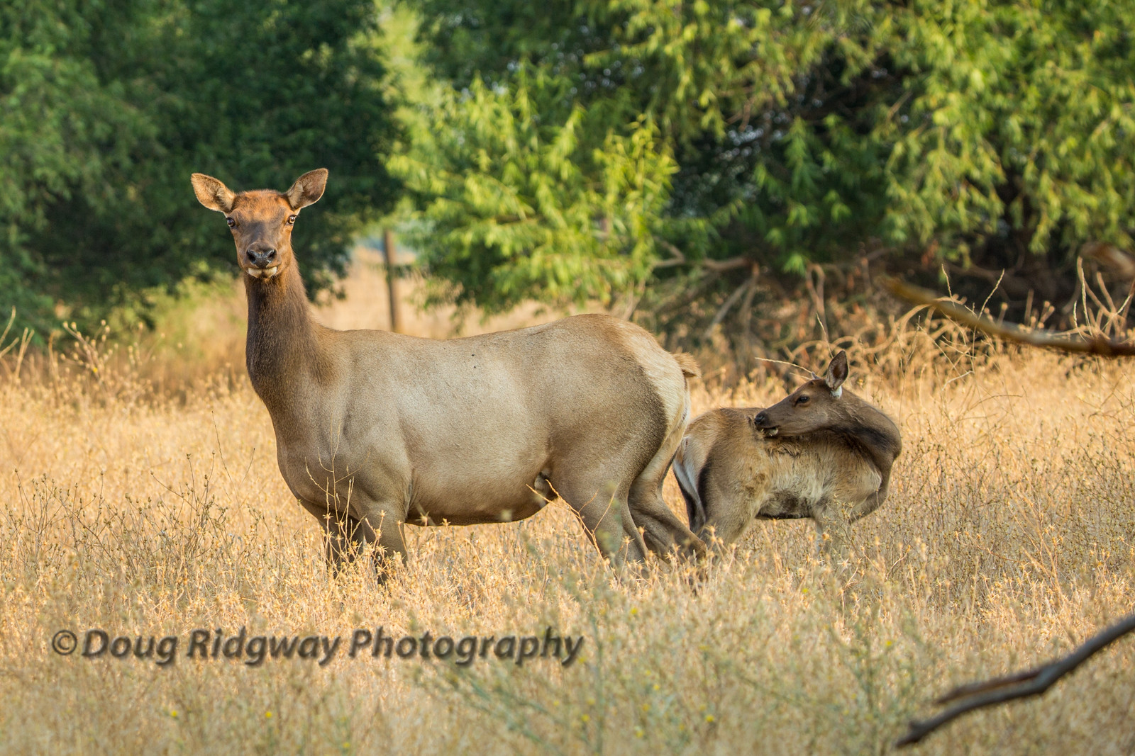 Cow Elk and Her Calf