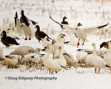 Snow Geese Landing Lower Klamath NWR, Tule Lake, CA
