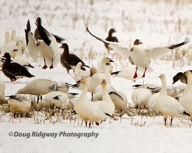 Snow Geese Landing Lower Klamath NWR, Tule Lake, CA