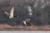 Mallards in Flight