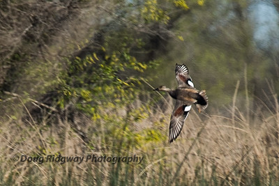 Gadwall Turning