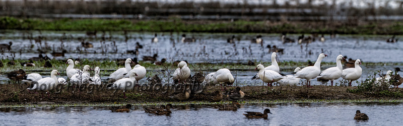 Resting Ross's Geese
