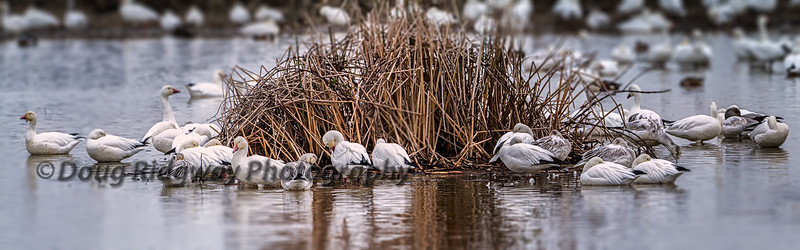 Resting Snow Geese