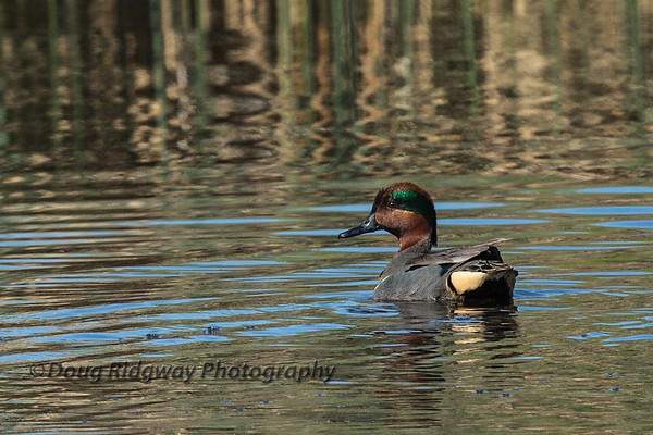 Drake Green Wing Teal