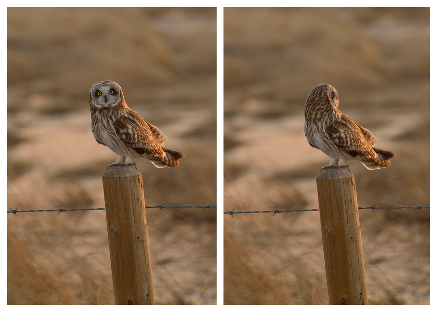 Short Eared Owl - Shot by Conor