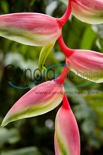 "Heliconia ""sexy pink"""