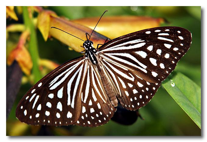 Glassy Tiger, NIE Butterfly Trail.