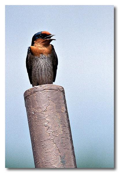 A chirping Pacific Swallow. Pulau Ubin.