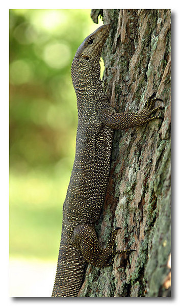 Okie, monitor lizards can climb trees. MacRitchie Reservoir.