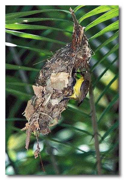 A sunbird's nest. NIE.