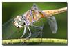 Dragonfly. Sungei Buloh Wetland Reserve.