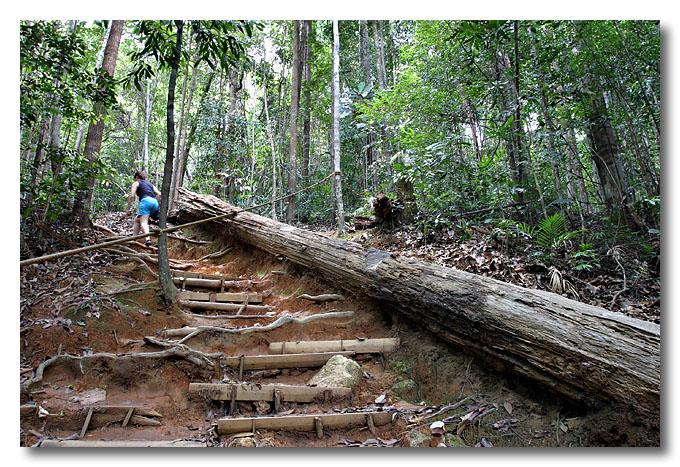 Fallen tree on Lambak. Kluang, Malaysia.