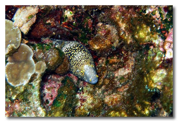 Dive #10, Pulau Lang. Moray eel. Dayang, Malaysia.