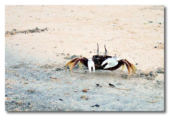A crab scurries along Aur beach. Malaysia.