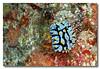 Dive #9, Rayner's Rock. Nudibranch. Dayang, Malaysia.