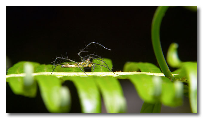 Spider on a leaf. Pulau Ubin.