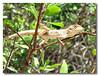 Lizard! Pulau Ubin.