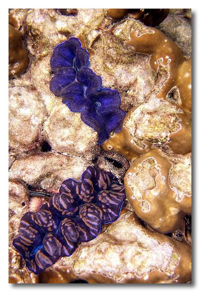 Blue clams. Phuket.