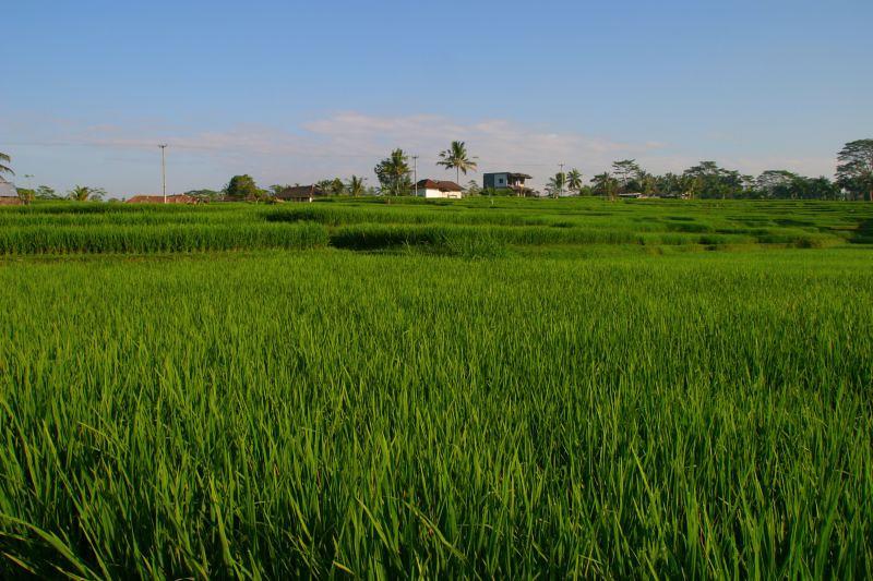 Padi fields, Villa Amala. Bali, Indonesia.