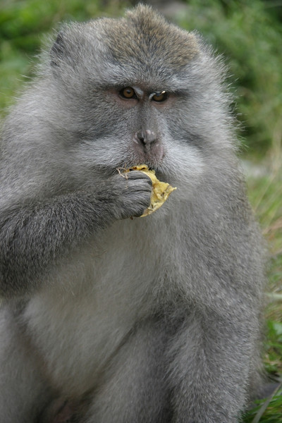 Monkeys will snatch your food if you are not paying attention.  Mount Rinjani, Lombok, Indonesia.