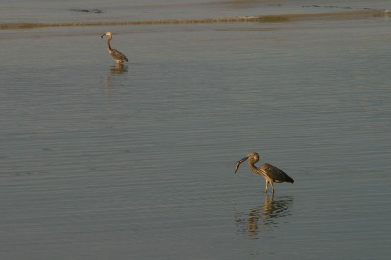 Herons having breakfast.